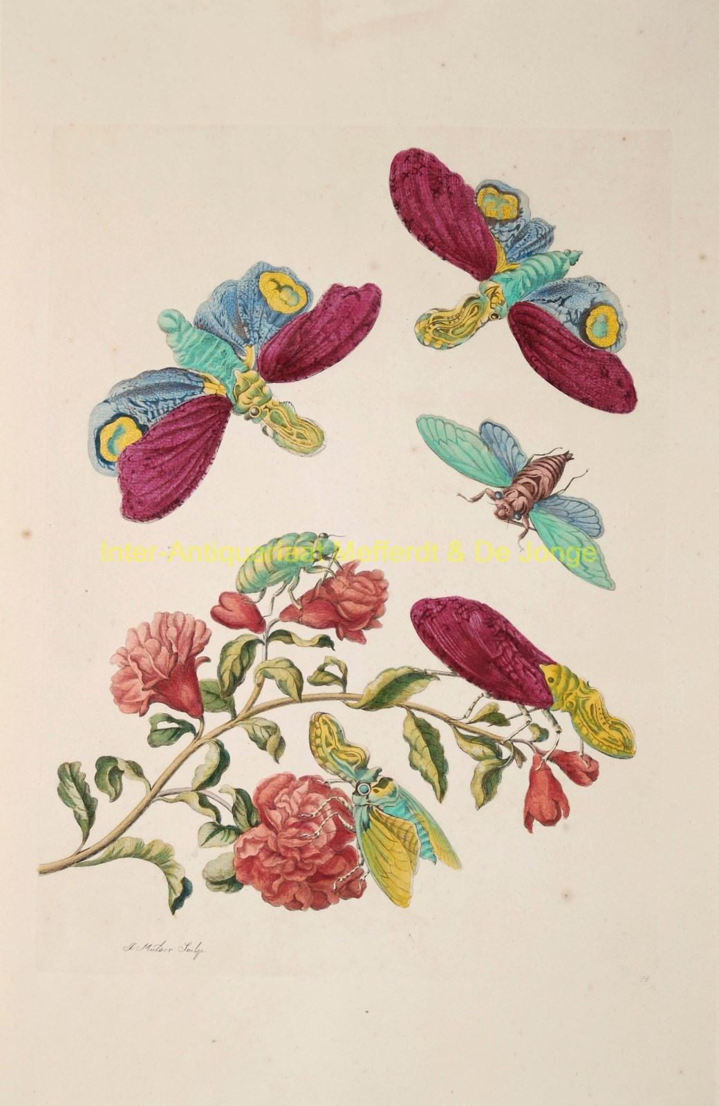 MERIAN,  MARIA SIBYLLA - Maria Sibylla Merian - Granaatappel bloesem, pomegranate flower